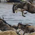 7 Days Serengeti Wildebeest Migration River Crossing